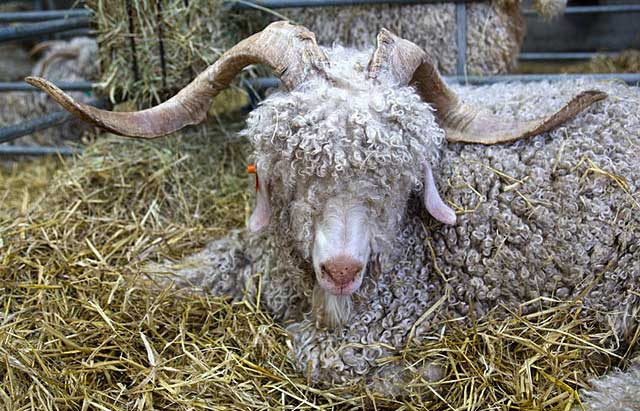 World's first cloned goat with Cashmere wool born in China