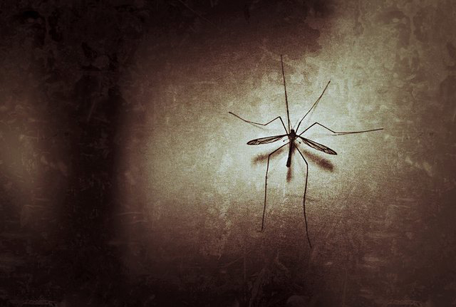 Genetically-engineered mosquitoes give hope against dengue