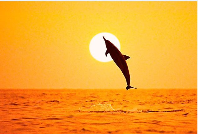 US-trained dolphins to help locate Mexico's vaquita porpoise