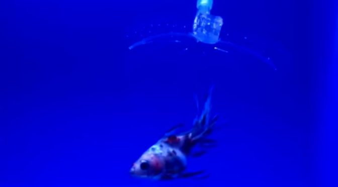 These gel-based robots can catch live fish