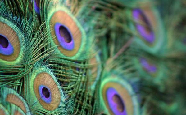 Peacock feathers inspire new variety of non-polluting fabric dyes