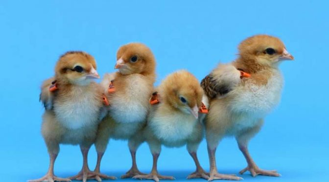 Researchers develop surrogate hens to save rare breeds