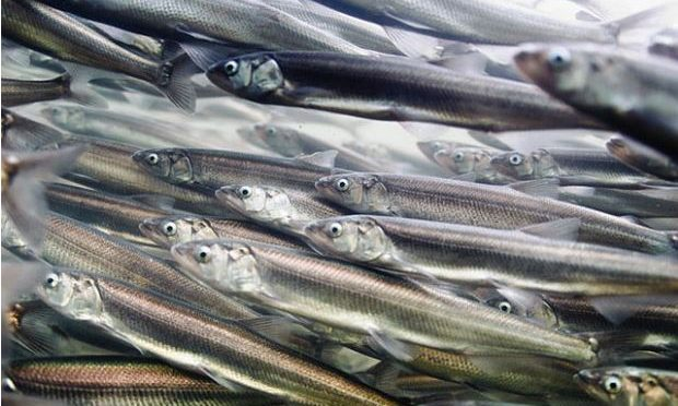 US scientists track fish migration using DNA in water samples