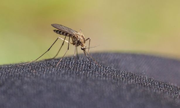Google's machine-raised mosquitoes to shrink vector's numbers