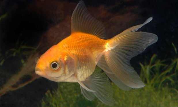 Revealed: Goldfish make alcohol to survive without oxygen